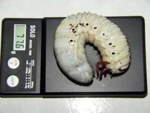 Личинка северо-американского жука актеона