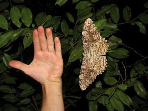 Белая ночная бабочка совка агриппина (Thysania Agrippina)
