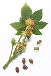 Касторовое растение