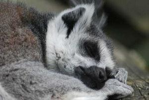 Спящий лемур
