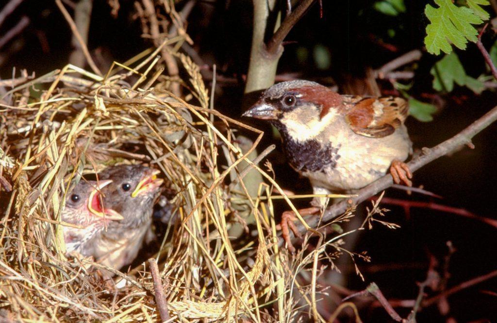 Гнездо воробья