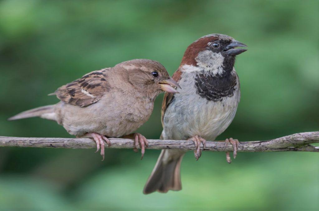 Самец и самка воробья
