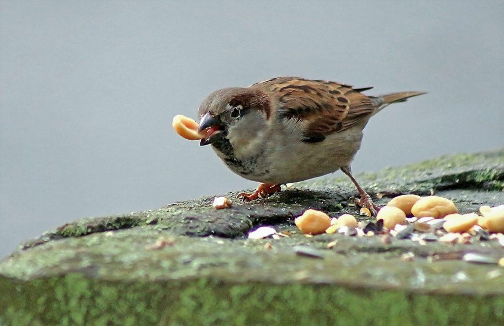 Воробьи часто питаются орехами и злаками