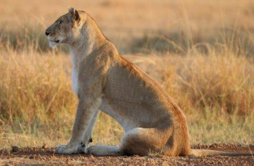 Львы 🌟 Описание, подвиды, питание, поведение, ареал, фото и видео