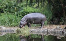 Бегемот или гиппопотам 🌟 Описание, где живут, виды, что едят, поведение, фото и видео