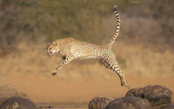 Гепард 🌟 Описание, скорость, происхождение, питание, подвиды, где обитает, фото и видео