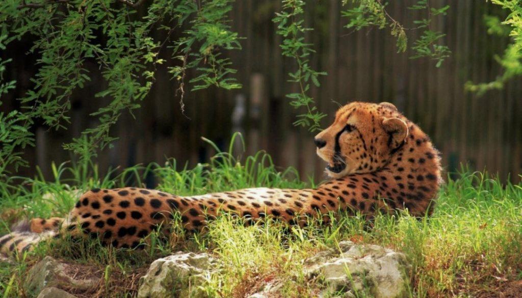 Гепард отдыхает на солнце