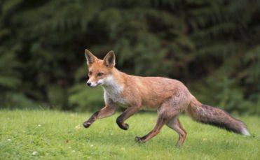 Обыкновенная лисица 🌟 Описание, фото, видео, подвиды, ареал, враги, питание и размножение
