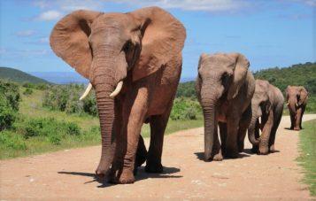 Слон 🌟 Описание, характеристики, ареал, виды, питание, сколько весит, фото и видео