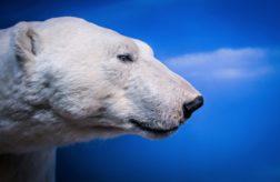 Белый медведь 🌟 Описание, особенности, ареал, виды, питание, образ жизни, фото и видео
