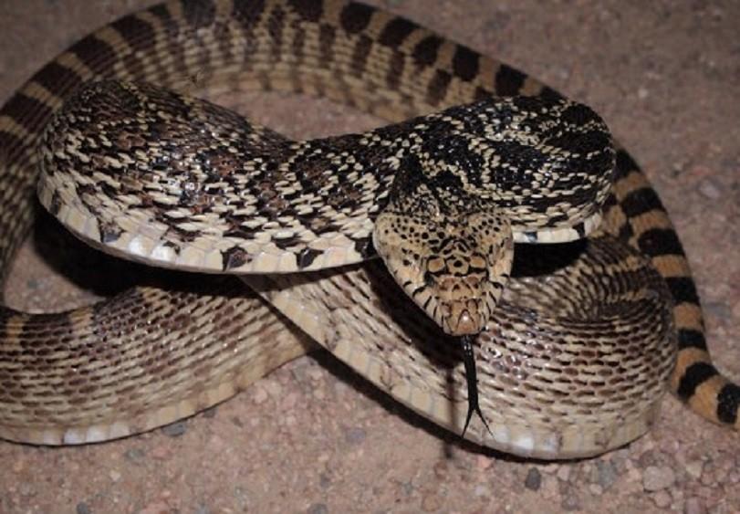 Бычья змея