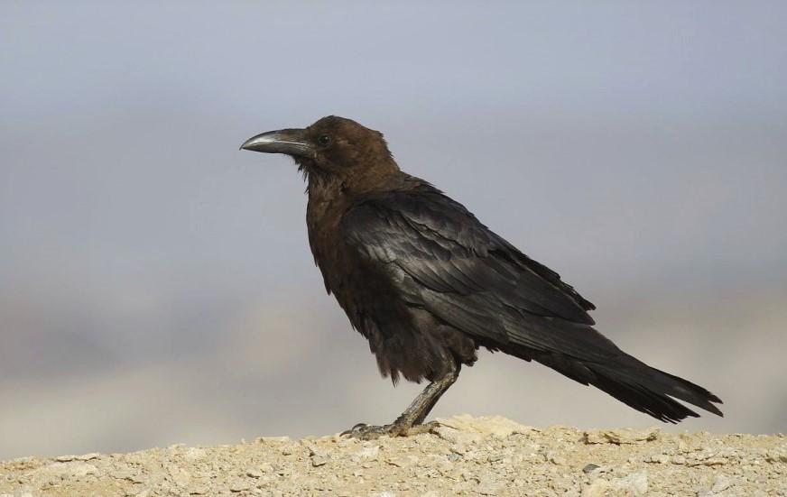 Белоклювый ворон