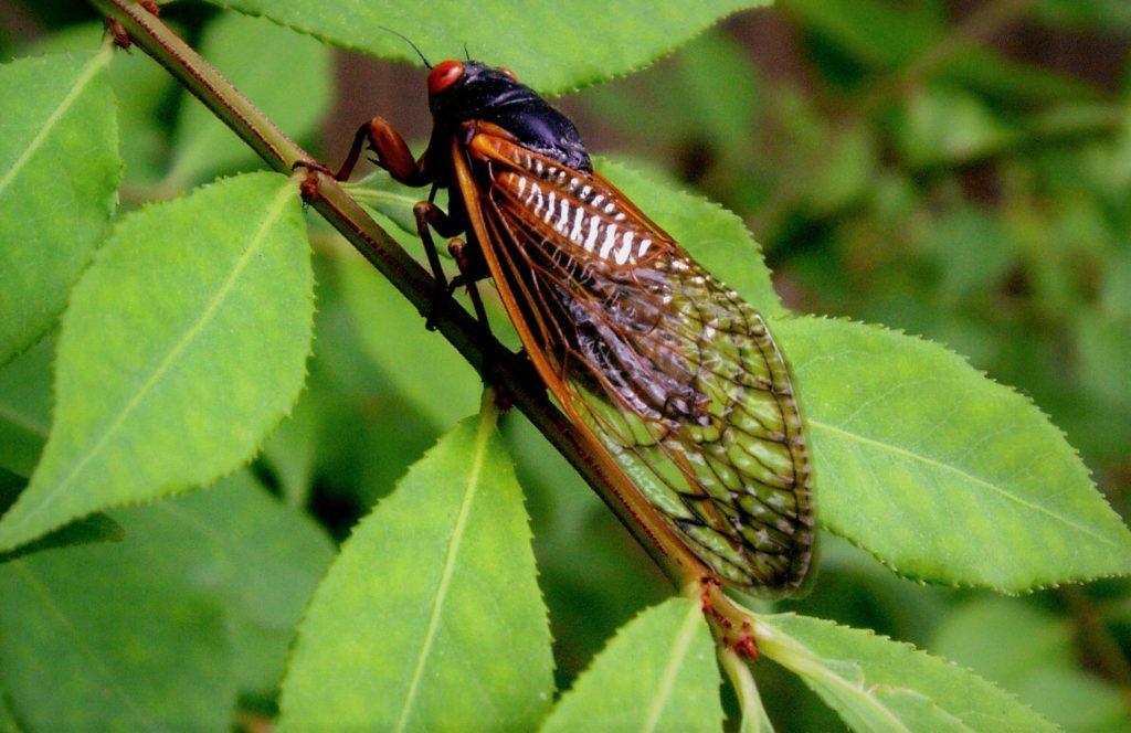 Цикады известны своим пением