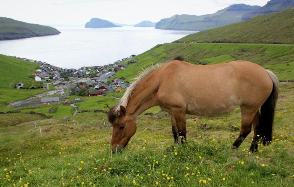 На Фарерских островах живет уникальный вид лошадей
