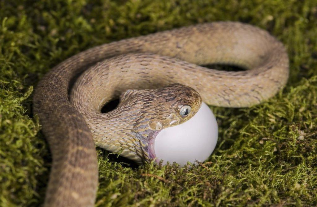 Африканский яйцеед