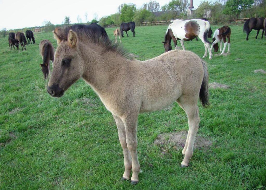 Гуцульский пони