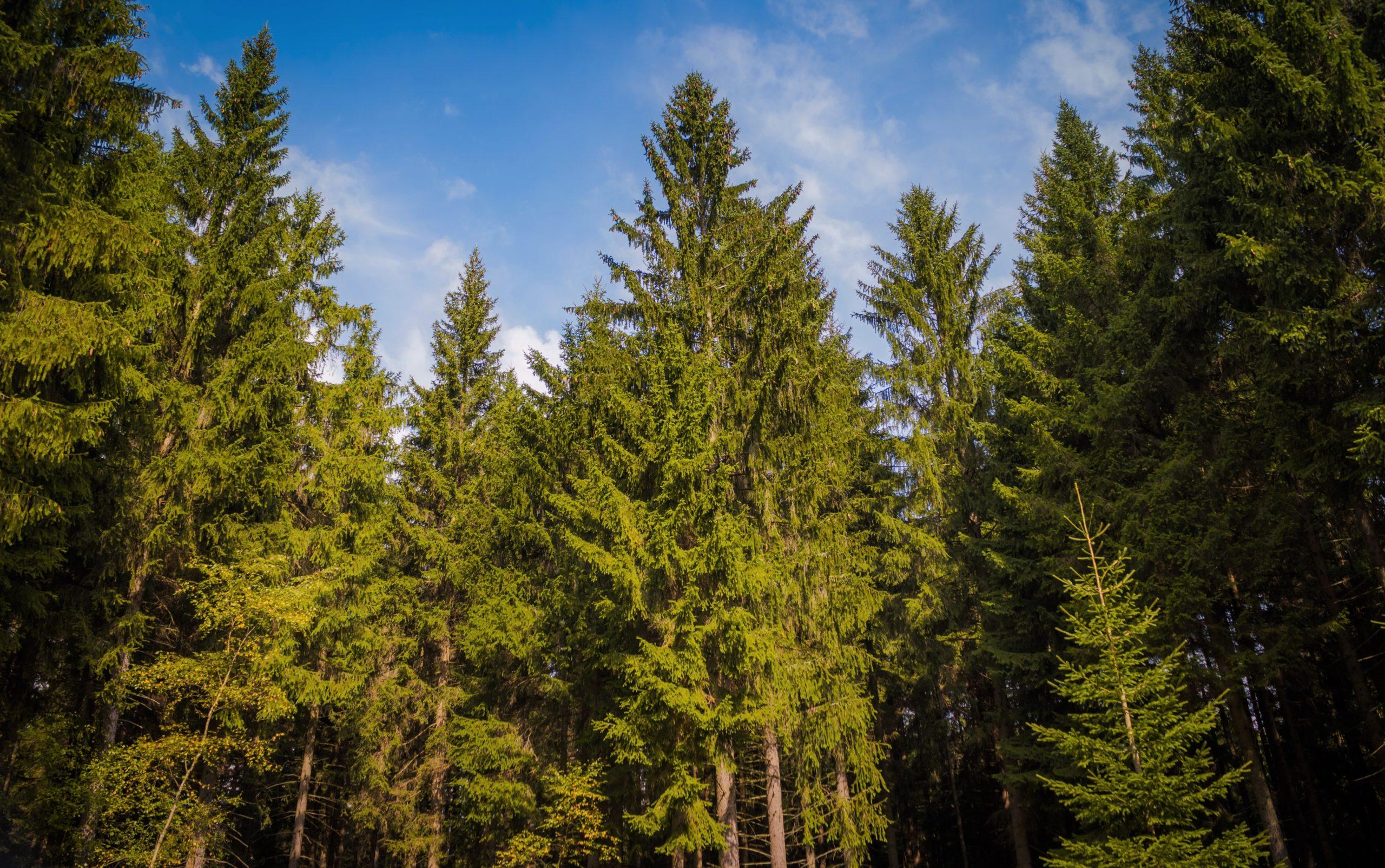 Хвойные деревья - список, виды, названия, описание, где растут, фото и видео