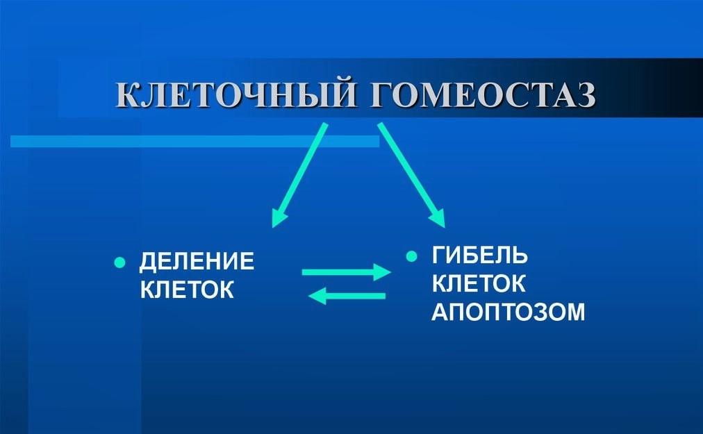 Схема клеточного гомеостаза