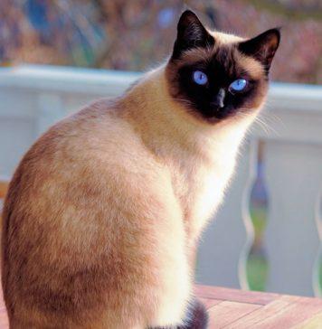Кошки – породы, список, названия, характер, особенности, описание, фото и видео