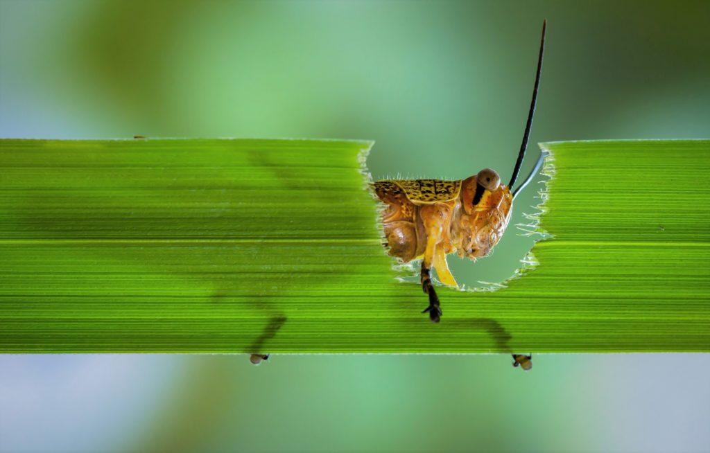 Кузнечик ест траву
