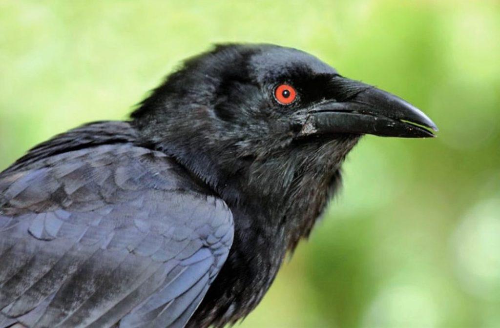 Антильский ворон