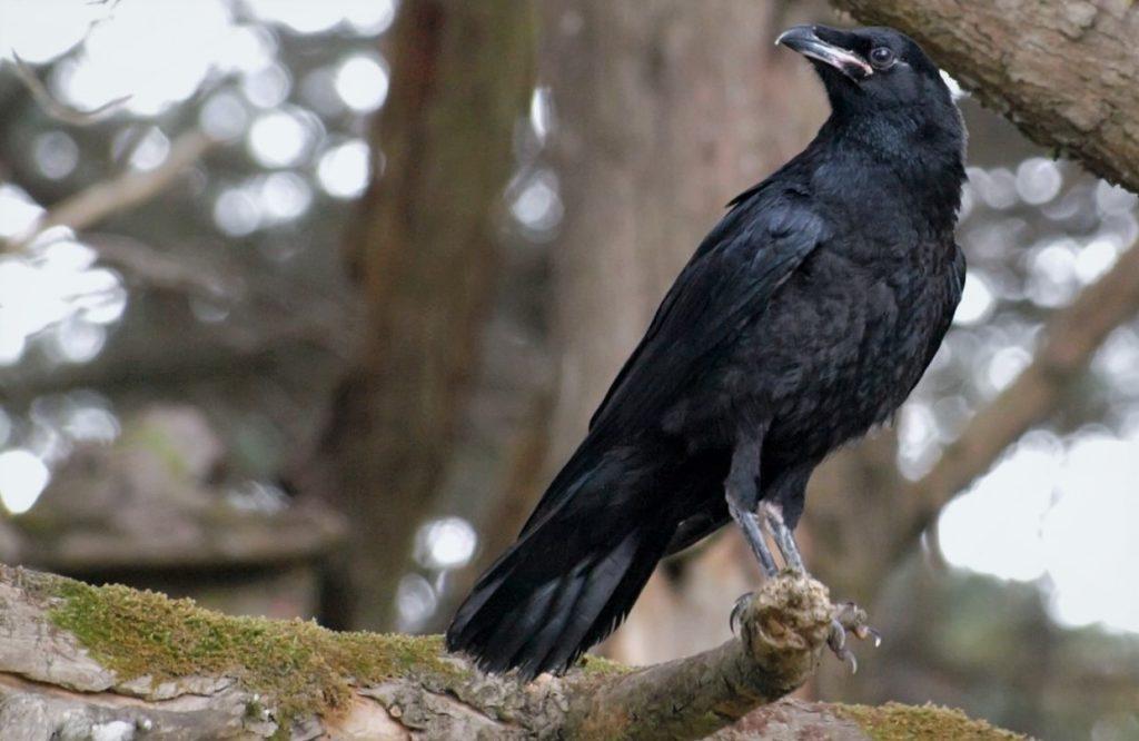 Новокаледонский ворон