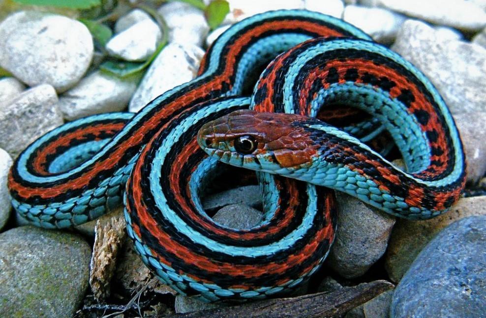 Подвязочная змея
