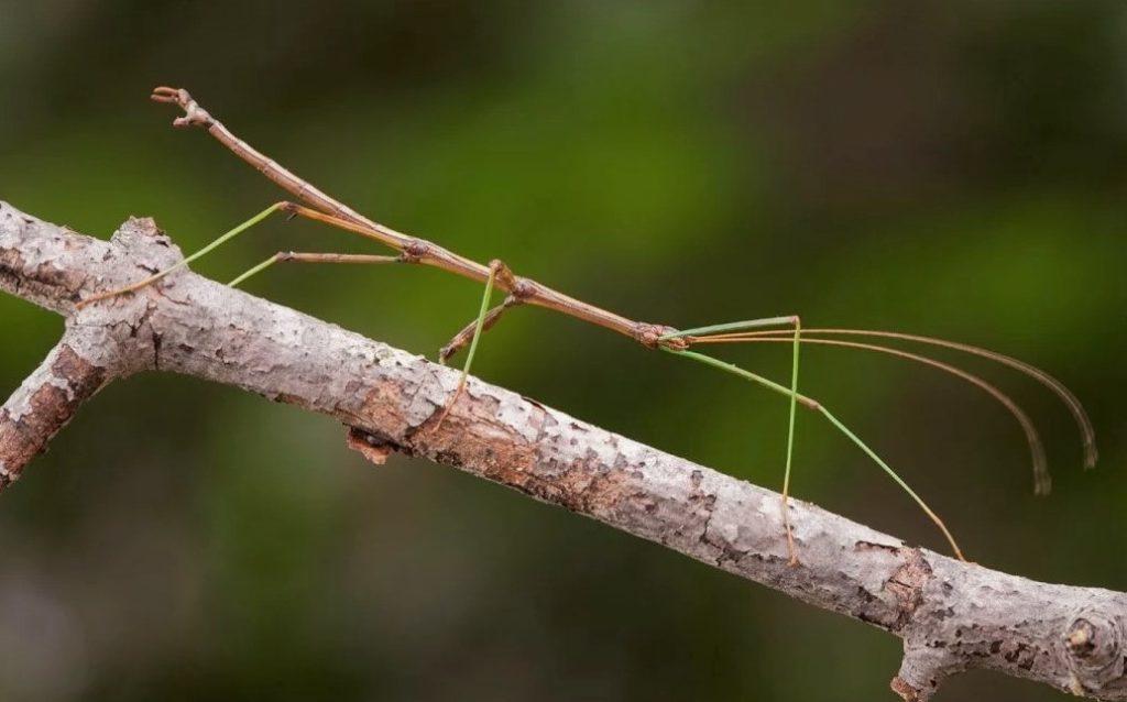 Палочник - одно из крупнейших насекомых