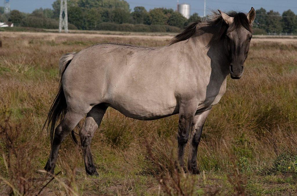 Польский коник