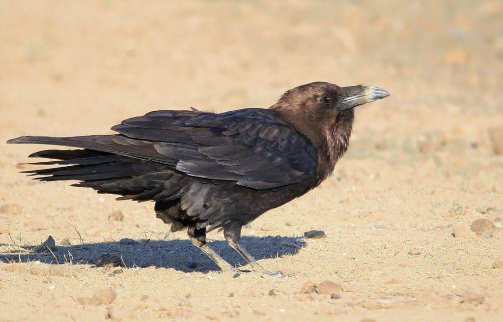Пустынный буроголовый ворон