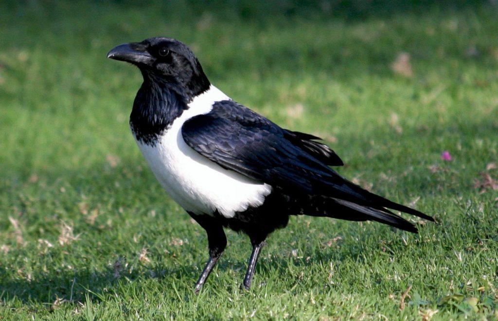 Ошейниковый ворон