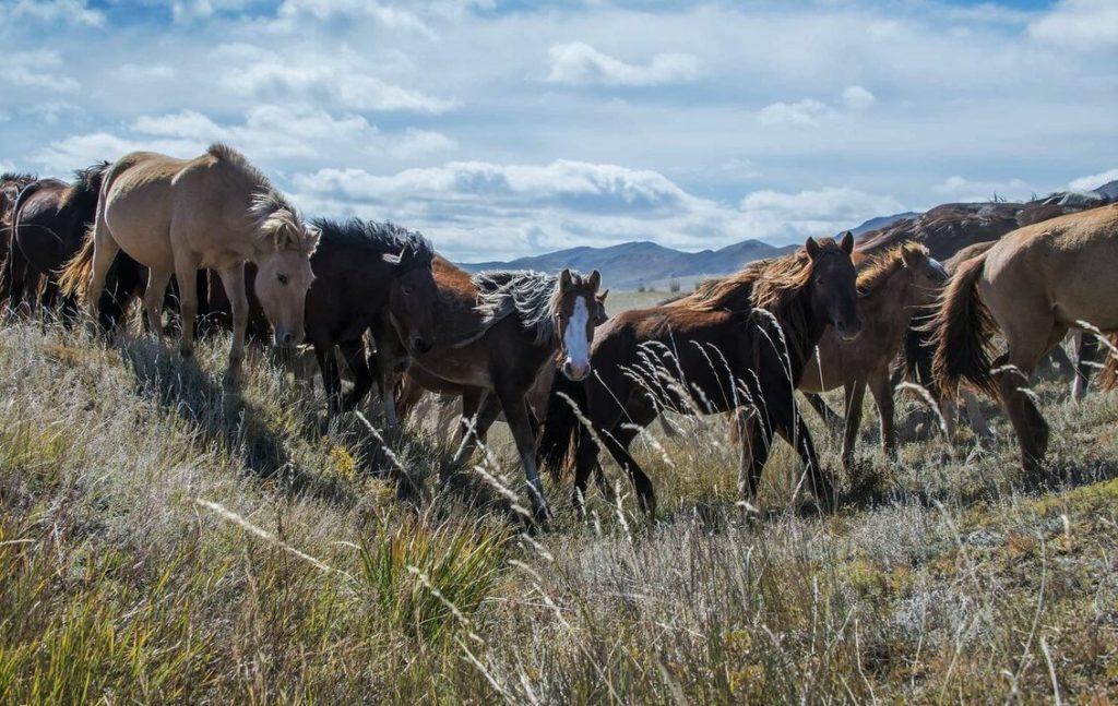 Стало монгольских лошадей