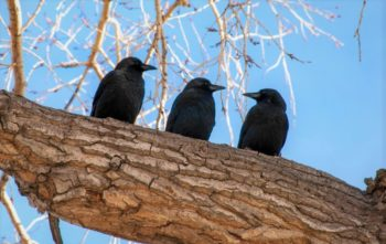 Ворон 🌟 Описание, особенности, ареал, виды, питание, образ жизни