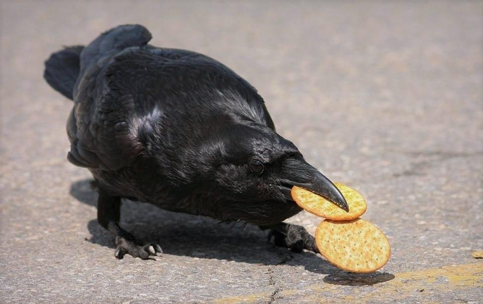 Ворон ест печенье