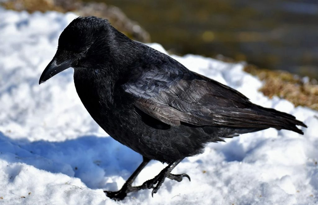 Ворон зимой