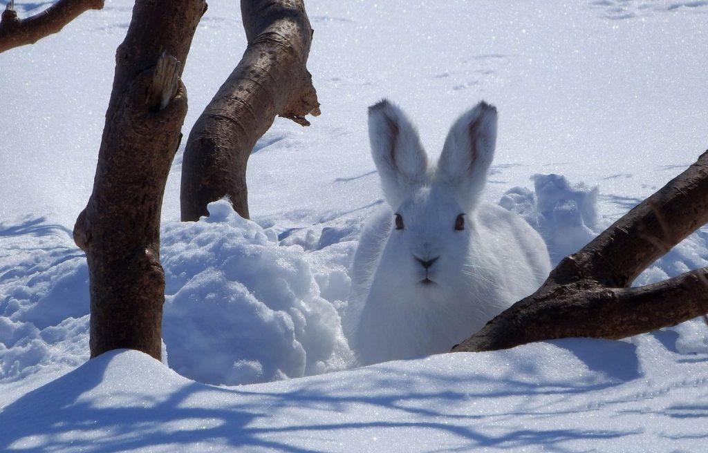 Заяц-беляк в естественных условиях