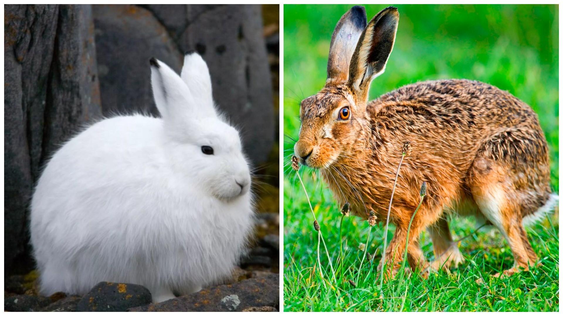 Чем отличается заяц-беляк от зайца-русака