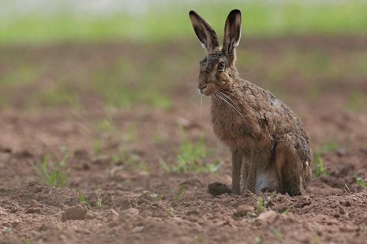 Заяц-русак во время линьки