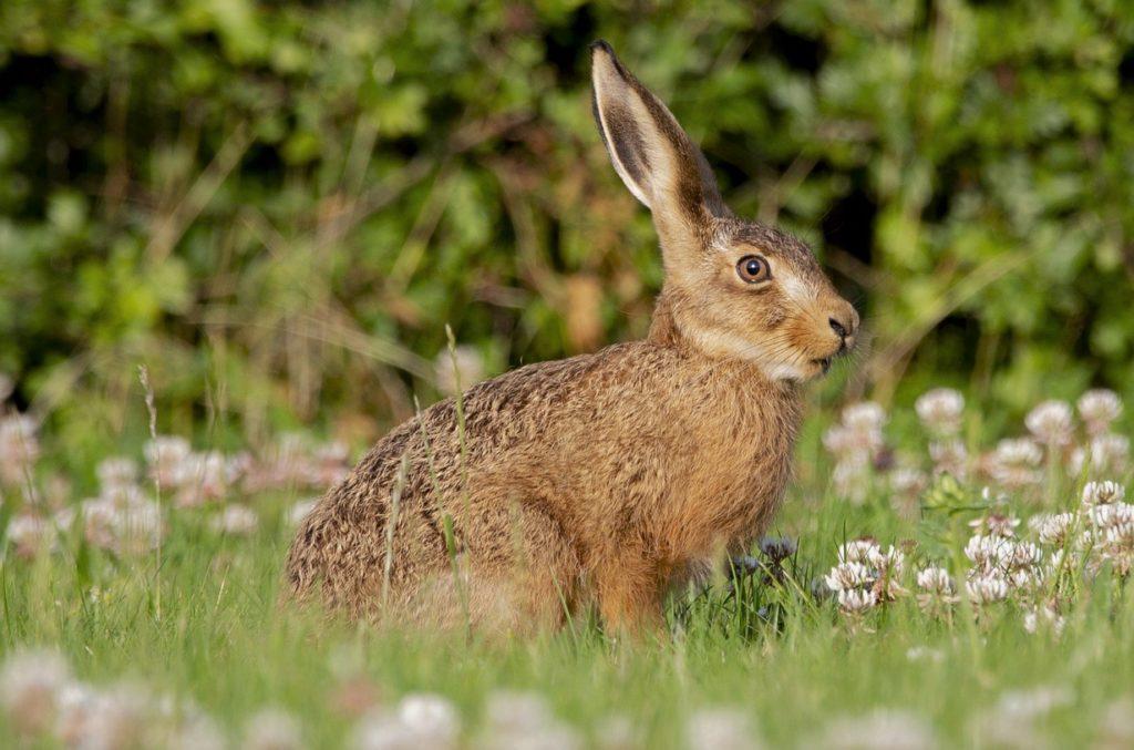 Заяц-русак в естественных условиях