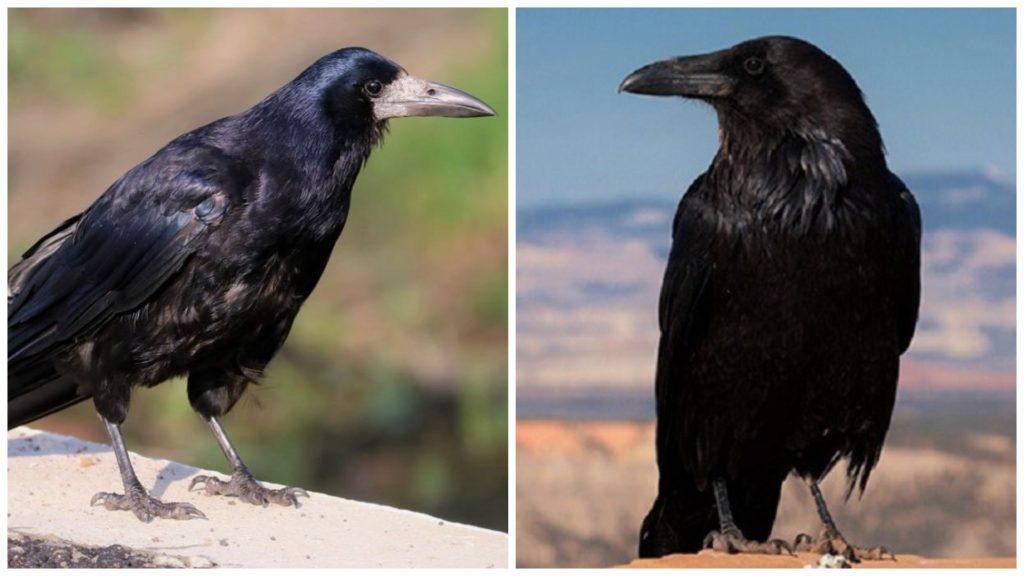 Грач и черная ворона