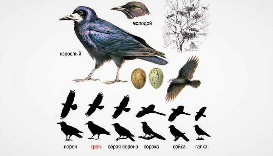 Сравнение размеров грача и других птиц