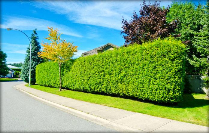 Выявлено, что живая изгородь очищает воздух от выхлопных газов