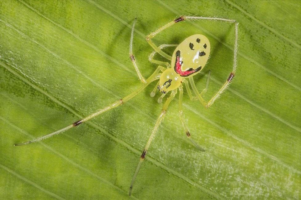 Улыбающийся паук