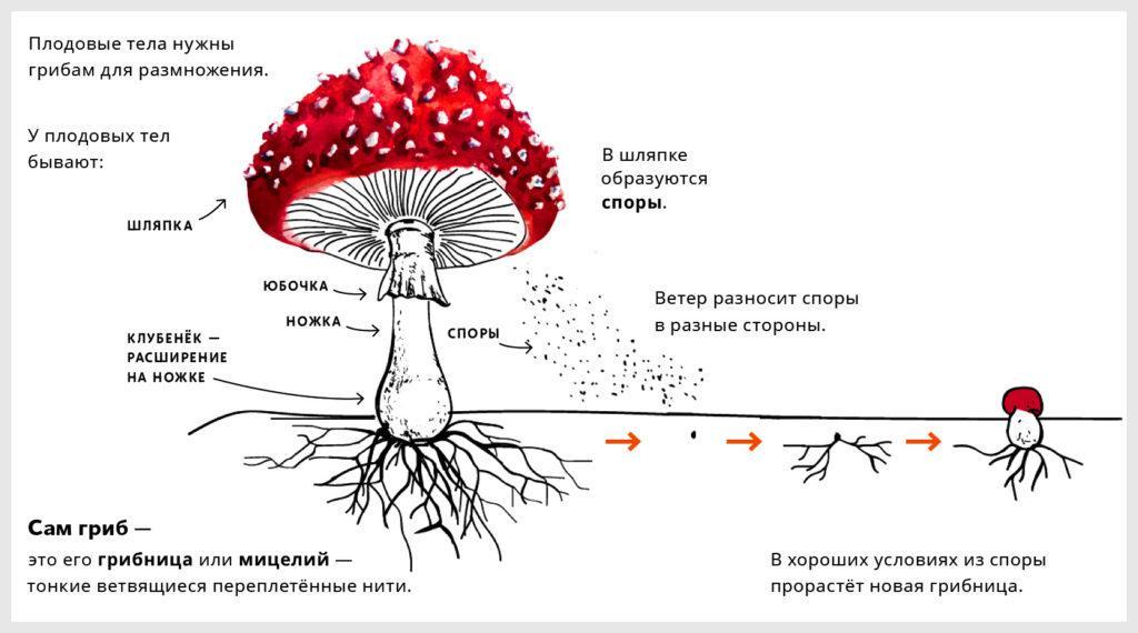 Строение шляпочного гриба мухомора