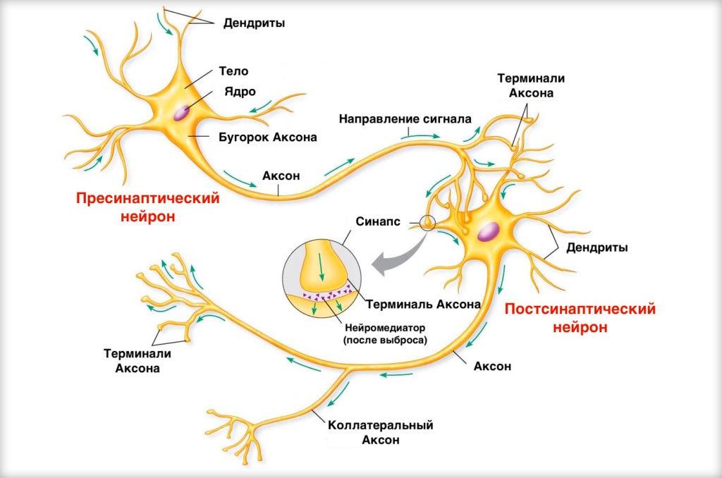 Структура нейрона мозга