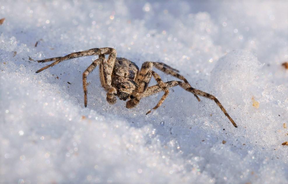 Некоторые пауки могут вести активный образ жизни и зимой