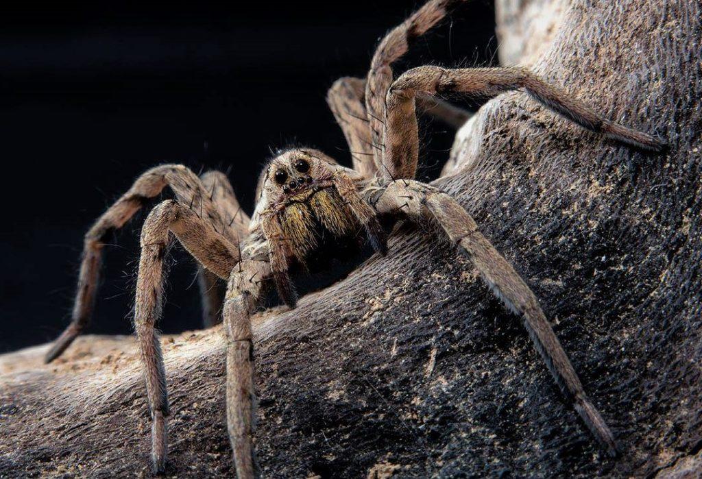 Апулийский тарантул