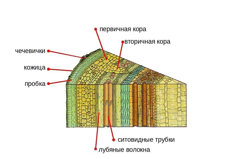 Строение стебля на примере ствола дерева