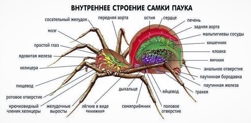 Внутреннее строение паука