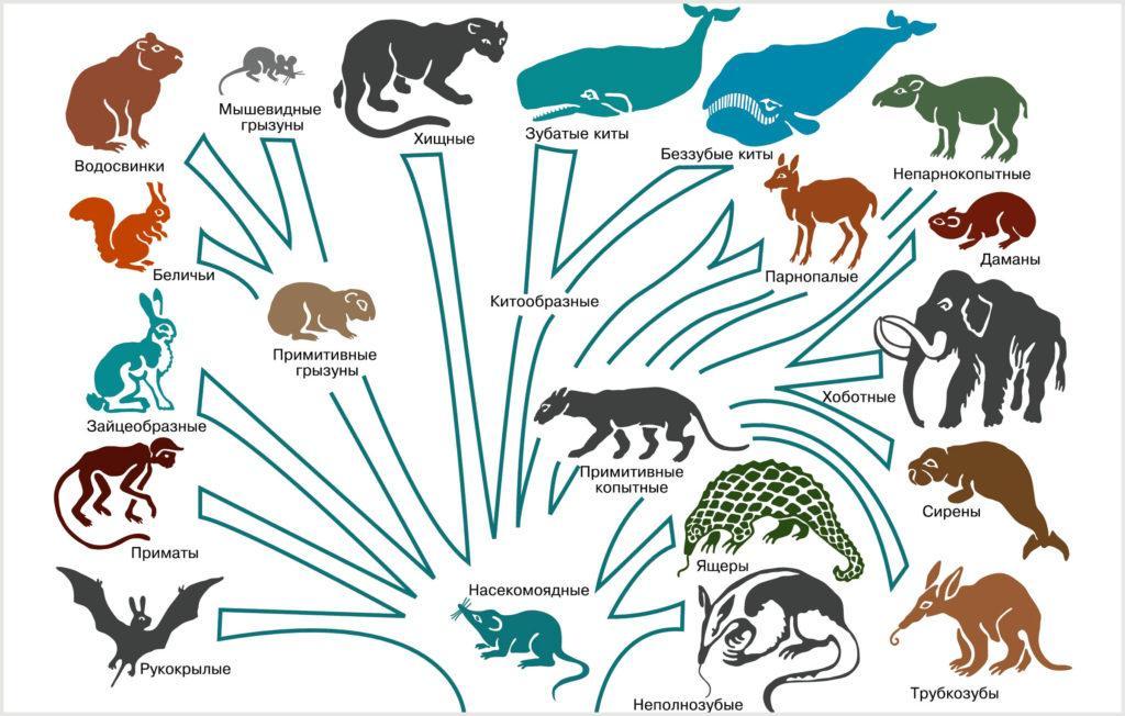 Филогенетическое древо млекопитающих